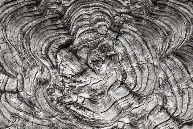 Un arbre guéri concave et ressemblant à une vague a été coupé.