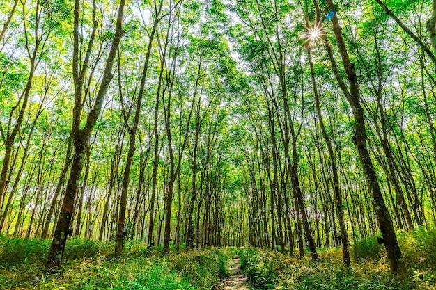 Arbre d'hévéa para, plantation d'hévéa en latex et caoutchouc d'arbre