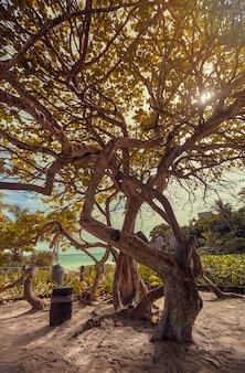 Arbre magnifique montre ses ramifications épaisses couvrant le soleil couchant. paysage naturel de la côte de la riviera maya au mexique, précisément à tulum. prise de vue verticale.