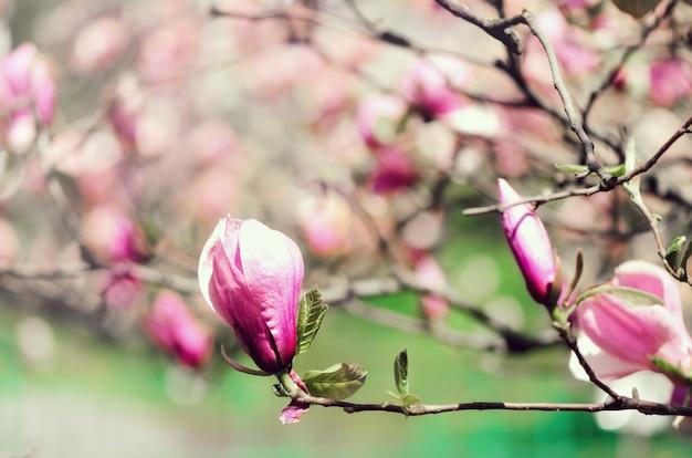 Arbre de magnolia en fleurs dans les rayons du soleil de printemps. mise au point sélective. espace de copie