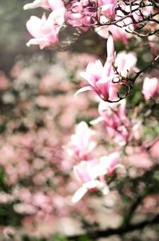 Arbre de magnolia en fleurs dans les rayons du soleil de printemps. mise au point sélective.
