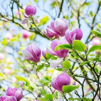Arbre de magnolia rose / violet clair