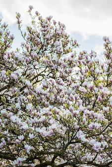 Arbre de magnolia rose ou violet avec fleurs épanouies