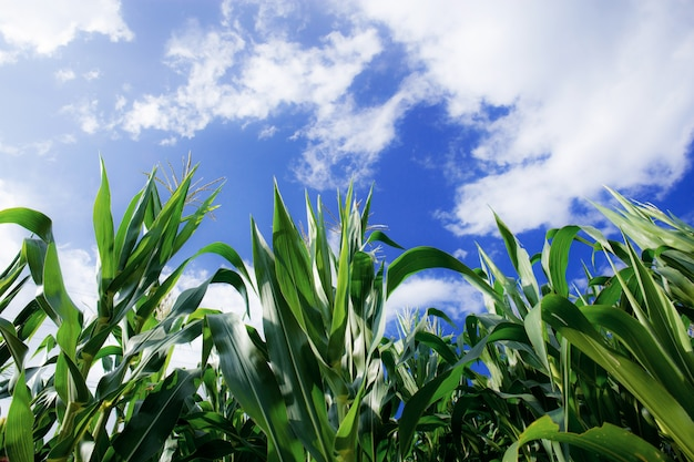 Arbre de maïs avec un ciel bleu.