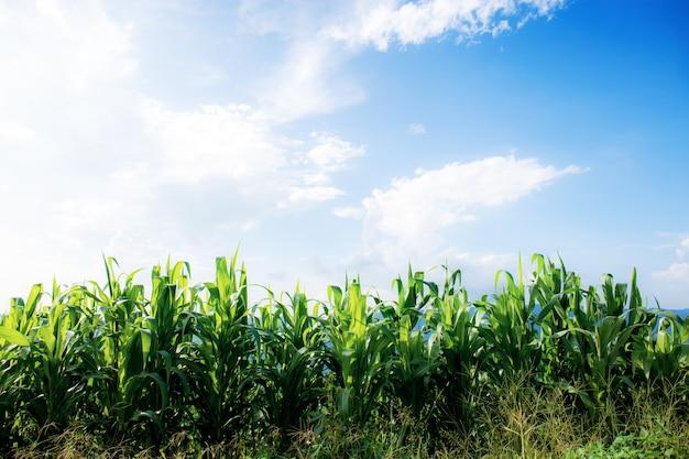 Arbre de maïs dans la ferme avec la lumière du soleil sur le ciel bleu.