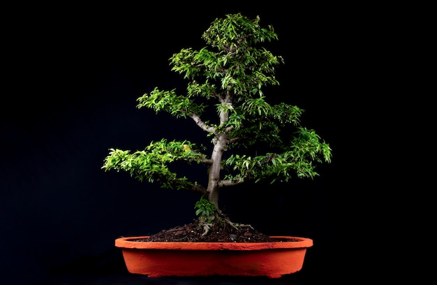 Un arbre miniature bonsaï japonais traditionnel dans un pot isolé sur fond noir