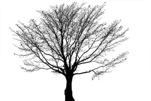Arbre mort silhouette ou arbre sec