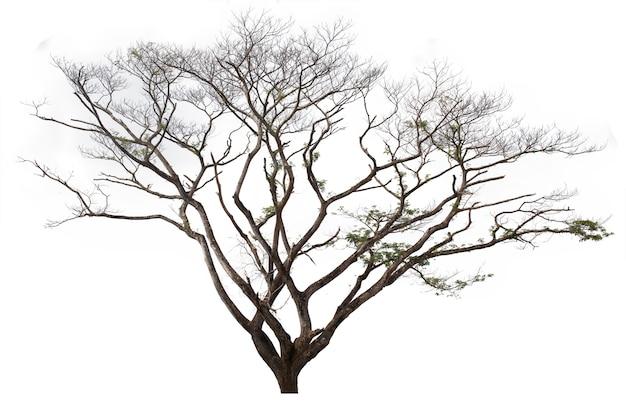 Arbre de pluie isolé sur fond blanc. arbre isolé sur fond blanc