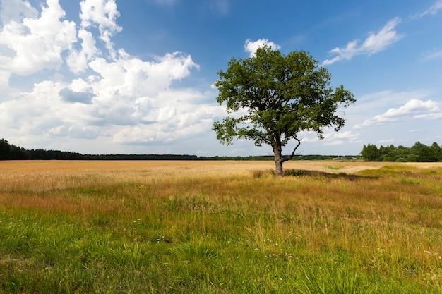 Un arbre poussant dans un champ pendant la saison estivale, un arbre au feuillage vert contre un ciel bleu