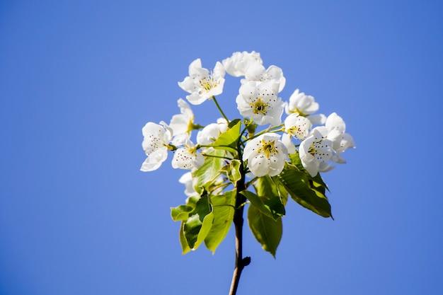 Arbre de printemps, fleurs blanches sur la branche, temps de floraison des cerisiers, fond de nature