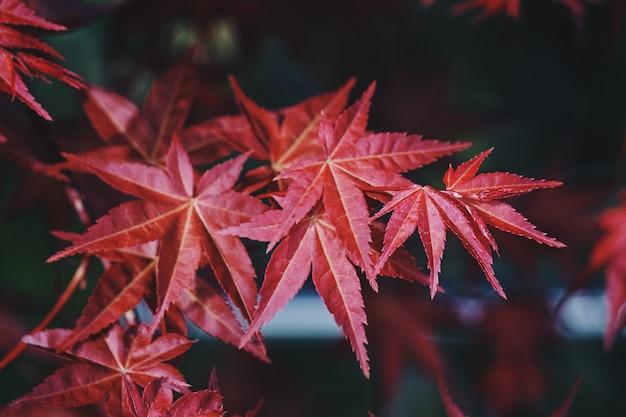 Arbre rouge feuilles dans la nature, branches et feuilles