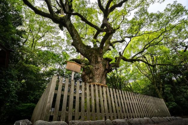 Arbre sacré dans le sanctuaire d'atsuta. le camphrier géant de tsukazaki a 1300 ans.