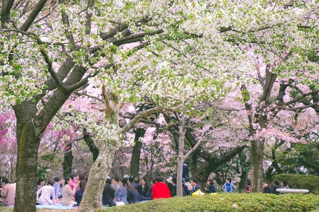 Arbre sakura dans le parc
