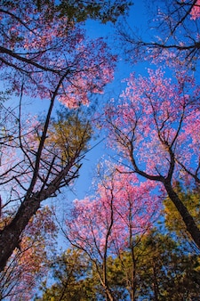 Arbre sakura de prunus cerasoidess. chiang mai, thaïlande