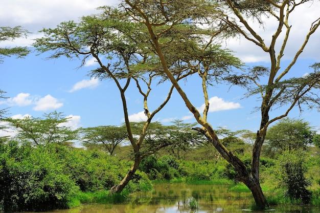 L'arbre solitaire. kenya, afrique de l'est