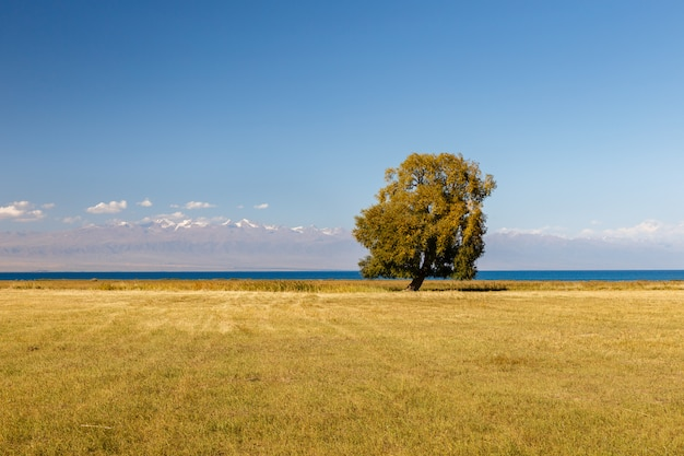 Arbre solitaire sur le lac issyk-kul, arbre au bord du lac
