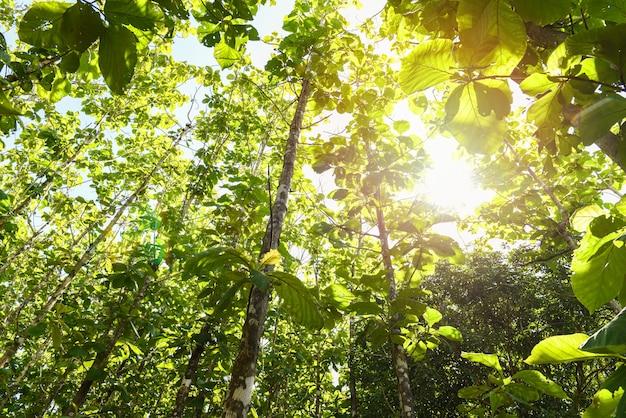 Arbre de teck agricole en plantation de teck sur le terrain avec feuille verte