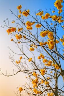 Arbre trompette jaune en fleurs contre le ciel bleu