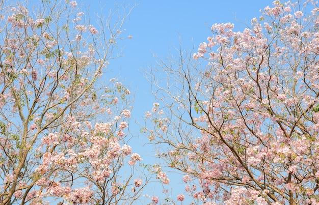 Arbre trompette rose ou fleur de tabebuia rose dans le ciel bleu avec copie espace