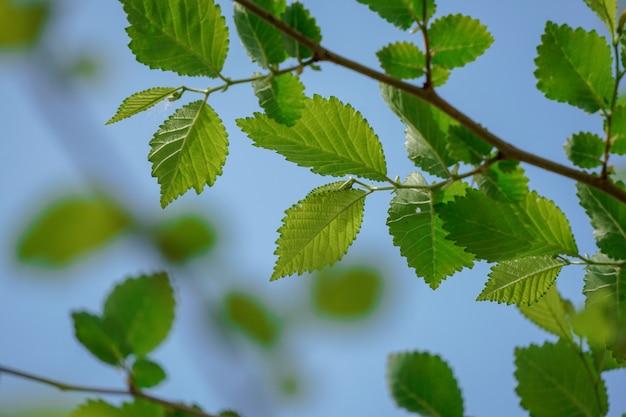 Arbre vert feuilles au printemps