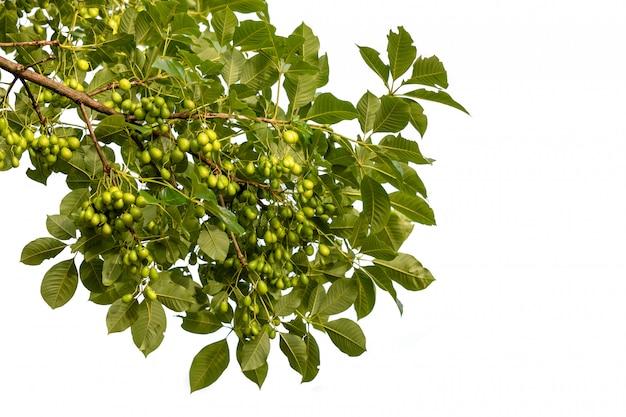Arbre de vitex glabrata ou arbre aux œufs pourris (nom thaï), fruit comestible d'un arbre du genre vitex isolé sur blanc