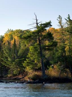Arbres au bord du lac, lac des bois, ontario, canada