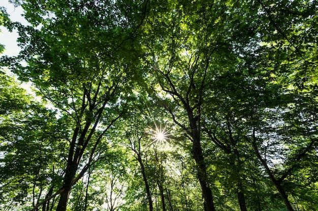 Arbres au feuillage vert en été, le feuillage des arbres est illuminé par la lumière du soleil
