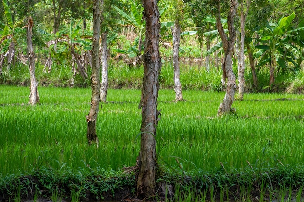 Arbres cajuput (melaleuca cajuputi) dans la rizière, dans la région de gunung kidul, yogyakarta, indonésie