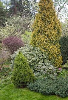 Les arbres de conifères dans le jardin: épinette, arborvitae, pin, sapin, genévrier.