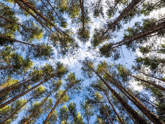 Arbres contre le ciel bleu, vue du dessus. texture de fond, sommets des conifères.
