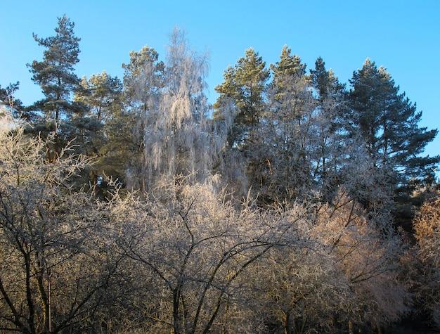 Arbres couverts de givre dans une journée ensoleillée d'hiver