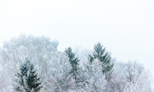 Arbres couverts de givre sur fond blanc_