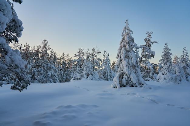 Arbres couverts de neige dans la forêt d'hiver au coucher du soleil. copiez l'espace.