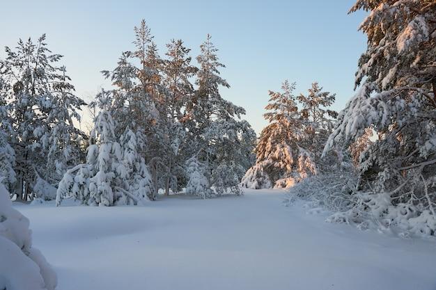 Arbres couverts de neige dans la forêt d'hiver au coucher du soleil.