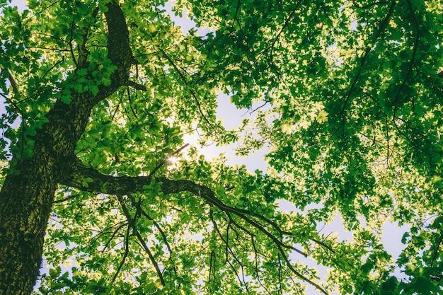 Arbres dans une forêt de chênes sur une journée ensoleillée de printemps ou d'été, vue de dessous