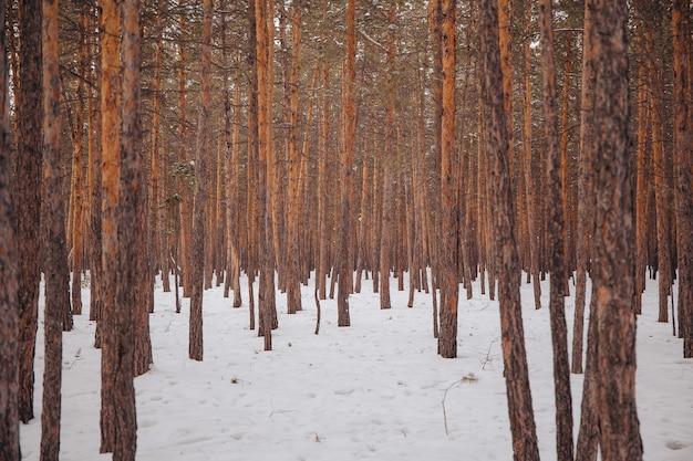Arbres dans la forêt en hiver