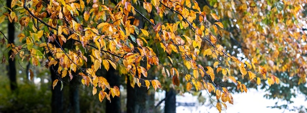 Arbres dans la forêt près de la rivière avec des feuilles d'automne jaunes, panorama