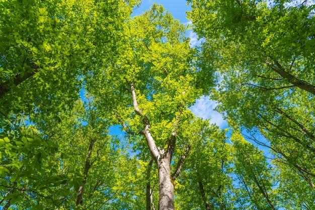 Arbres dans la forêt verte sur fond de ciel bleu