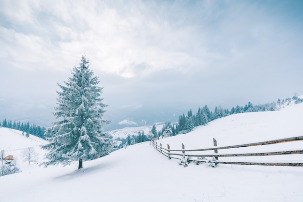 Arbres dans les montagnes. montagnes d'hiver