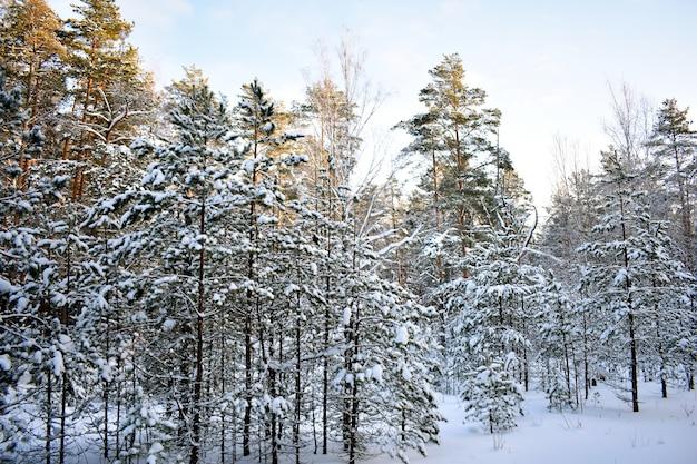 Arbres dans la neige dans la forêt d'hiver