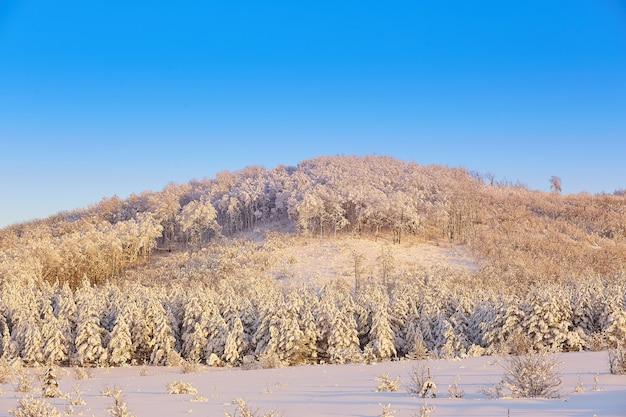 Arbres dans la neige en hiver sur fond de ciel bleu au coucher du soleil