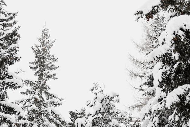 Arbres enneigés dans la forêt d'hiver
