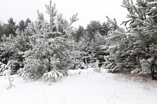 Arbres enneigés en hiver, mois d'hiver après et pendant les chutes de neige en forêt et dans la nature
