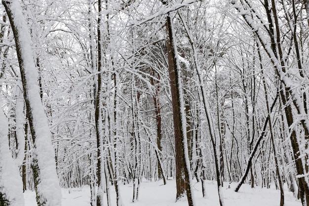 Arbres à feuilles caduques en hiver