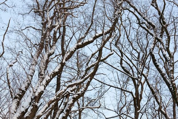 Arbres à feuilles caduques nus dans la neige en hiver, belle nature hivernale après les chutes de neige et le gel, arbres à feuilles caduques de différentes races après les chutes de neige