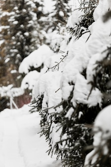 Arbres à feuilles persistantes dans la neige