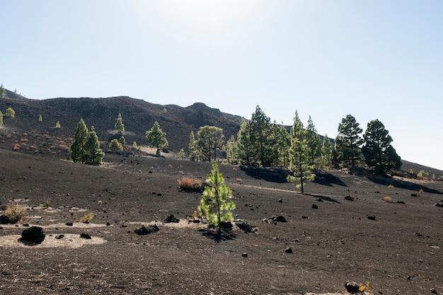 Arbres à feuilles persistantes sur le sol volcanique