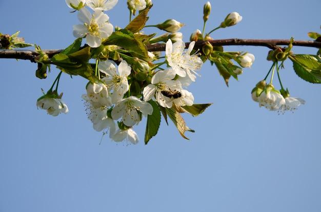 Arbres en fleurs. abeille sur une fleur blanche. branche d'un arbre à fleurs blanches