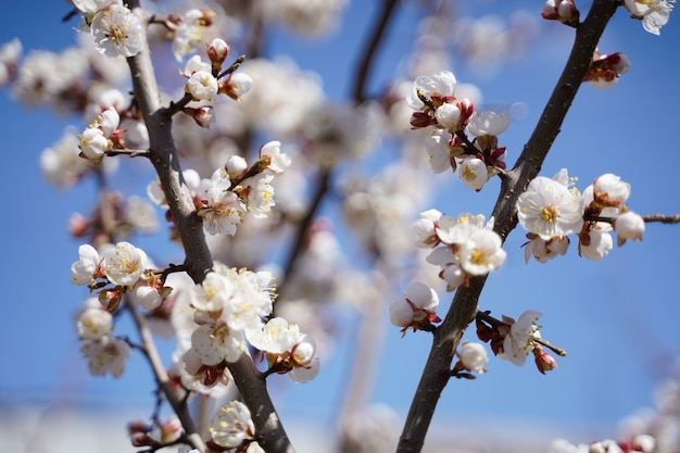Arbres à fleurs de printemps avec des fleurs blanches dans le jardin contre le ciel bleu