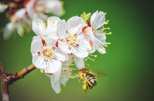 Arbres à fleurs de printemps. jardin fleuri. nature de la mise au point sélective
